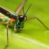 Monkey grasshopper, Peru