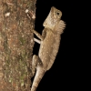 An agamid lizard, Gonocephalus borneensis, Danum Valley, Sabah