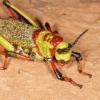 Foam grasshopper (Dictyophorus sp.), Waterberg Plateau, Namibia