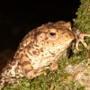 Common toad, New Forest, England