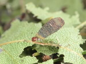 C. parvulus larvae_2