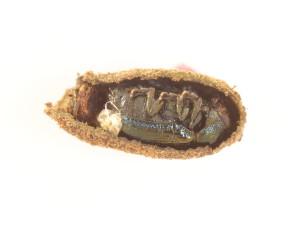 Cryptocephalus parvulus adult in case