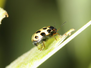 Cryptocephalus decemmaculatus Female egg-laying_2