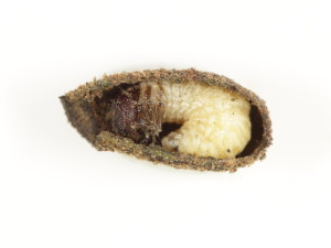 Mature Crytocephalus parvulus larva inside its case. This case has been cut open to reveal the larva within. Note the heavily screlotised head capsule of the larva, which completely plugs the case aperture, the well developed legs and abdomen that is held in a 'C' shape. This larva is very near pupation and the case was sealed back up to enable it to do so. Size ~5mm.