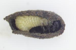 Cryptocephalus pre-pupa