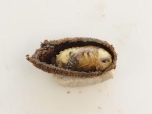 Cryptocephalus parvulus pupa 2